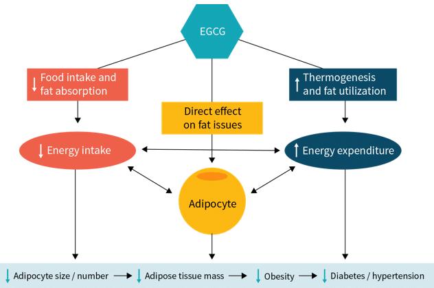EGCG Effekte Grüntee Fatburner