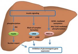 Insulin hemmt Gluconeogenese