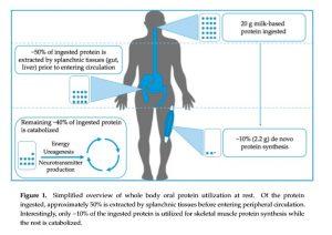 Nur ein kleiner Teil der Proteinaufnahme wir für Muskelaufbau verwendet